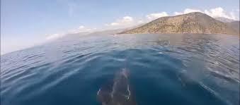 Ερασιτέχνες ψαράδες από Δίστομο και Στείρι έπιασαν μουγκρί-τέρας στον Κορινθιακό! (φωτό, βίντεο)