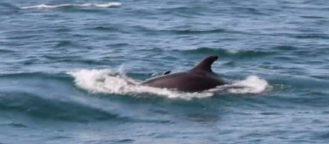 Συγκλονιστικό βίντεο: Δελφίνι στον Αμβρακικό προσπαθεί να επαναφέρει στη ζωή το νεκρό μωρό του!