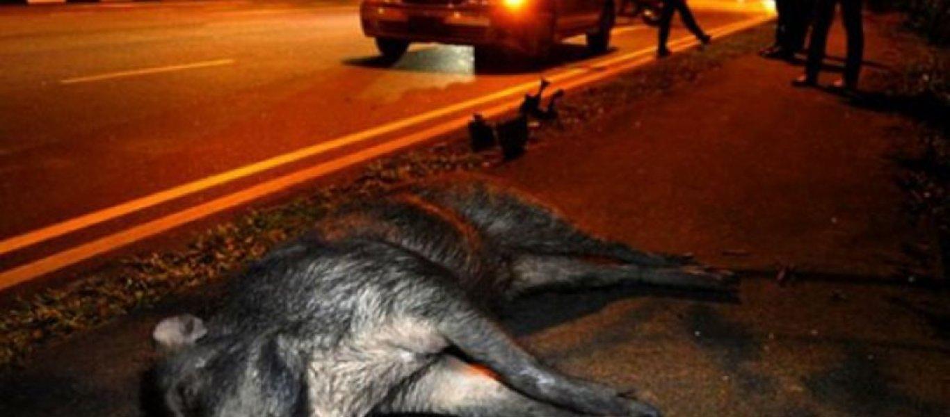 Λαμία: Σοβαρό τροχαίο με αγριογούρουνα