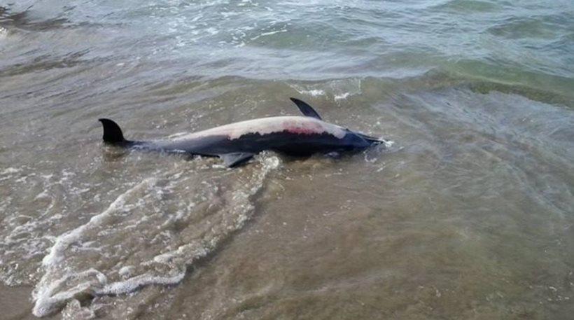 Πήλιο: Νεκρό δελφινάκι στην παραλία των Καλών Νερών
