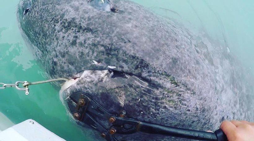 Γροιλανδία: Ψάρεψαν καρχαρία ετών… 512!