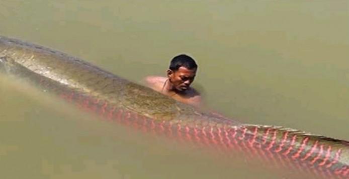Arapaima: Το μεγαλύτερο ψάρι γλυκών υδάτων στη φύση [Βίντεο]