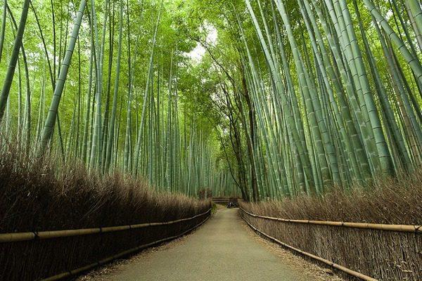Το πανέμορφο «μουσικό» δάσος από μπαμπού