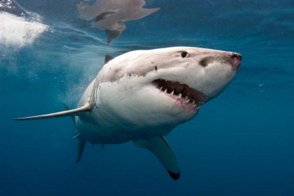 Έπιασαν τεράστιο λευκό καρχαρία μήκους 5 μέτρων!