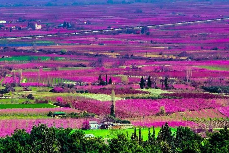 Κήποι του Μίδα: Πού στην Ελλάδα ο κάμπος γίνεται ροζ κάθε άνοιξη