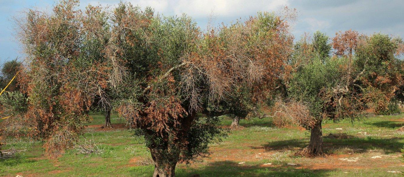 Επικίνδυνο βακτήριο από την Ισπανία ξεραίνει τις ελιές -Οδηγίες προς καλλιεργητές