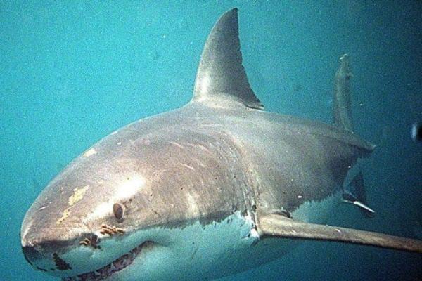 Λευκός καρχαρίας της Μεσογείου πιάστηκε στα δίχτυα ψαράδων στη Μαρώνεια
