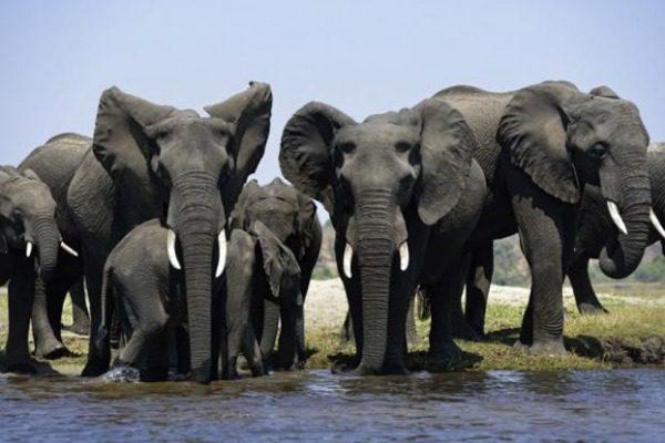 Λαθροκυνηγοί σκότωσαν και έγδαραν 87 ελέφαντες