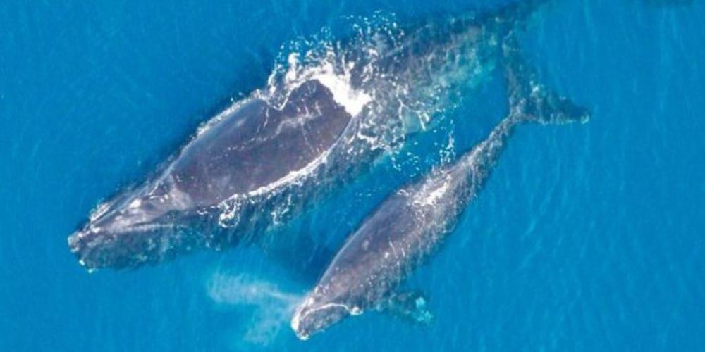 Μοναδικές εικόνες: Φάλαινα φυσητήρας θηλάζει το μικρό της στο Αιγαίο!