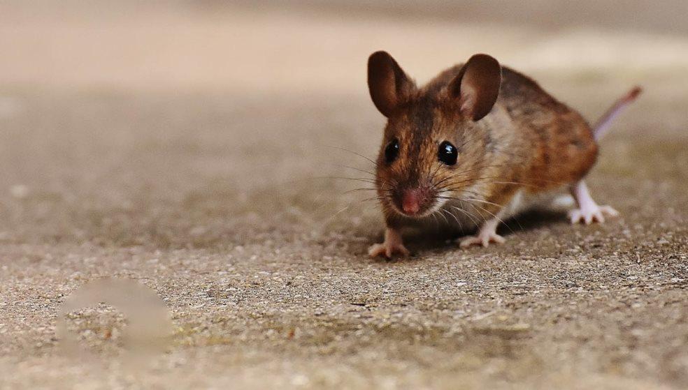 Απίστευτο: Γεννήθηκαν μωρά ποντίκια από γονείς ίδιου φύλου
