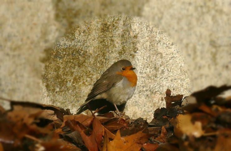 Ποιο είναι το μικροσκοπικό πουλί που κατάφερε να ξεπεράσει τον αετό και να γίνει ο βασιλιάς των πουλιών. Γιατί το αποκαλούν αηδόνι του χειμώνα…