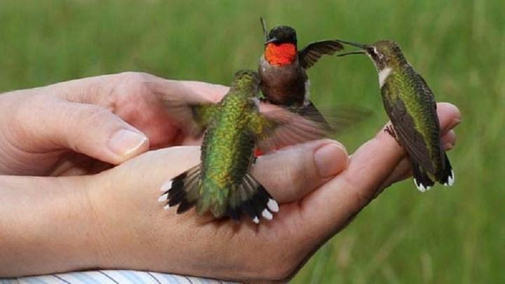 Αυτό είναι το μικρότερο πτηνό του κόσμου – Ζυγίζει 2 γραμμάρια – ΦΩΤΟ