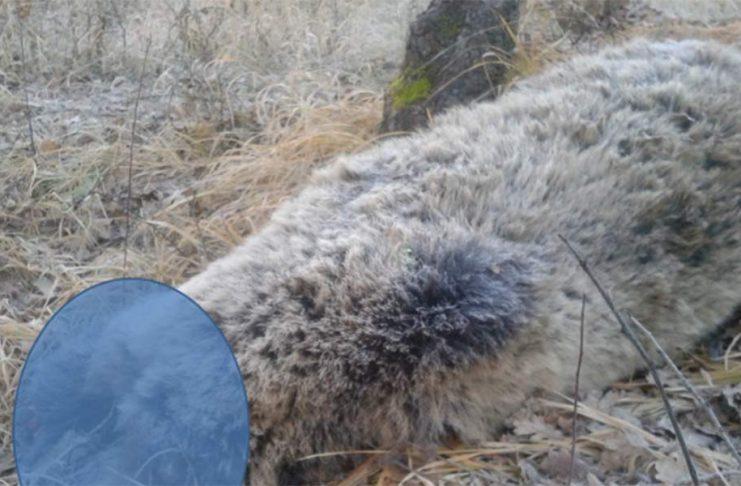 Φρίκη. Σκότωσαν και αποκεφάλισαν έγκυο αρκούδα στην Κοζάνη. Τι καταγγέλλει η «Καλλιστώ» για το παράνομο εμπόριο μελών του ζώου για συλλέκτες τροπαίων