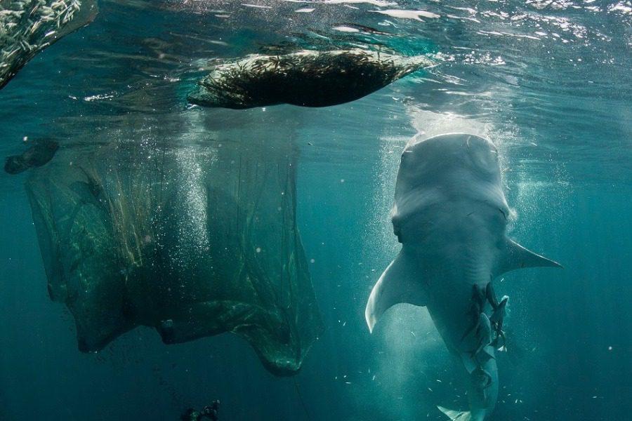 Ο Καρχαρίας που έχει το μέγεθος ενός μικρού πλοίου