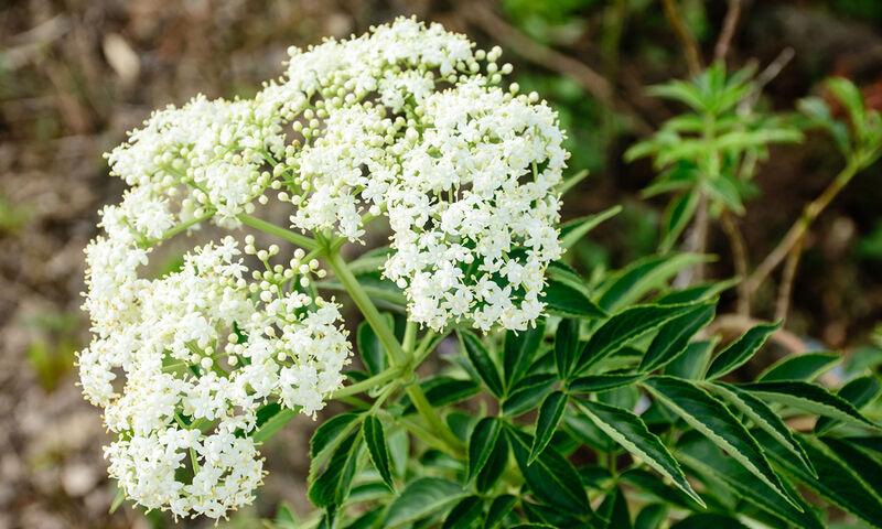 Βαλεριάνα: Όσα πρέπει να γνωρίζετε για το ηρεμιστικό φυτό