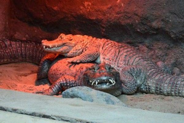 Ο αλιγάτορας που αδυνατεί να ζευγαρώσει εδώ και 50 χρόνια λόγω μεγέθους γεννητικών οργάνων