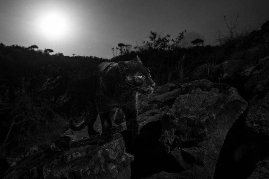 Οι πρώτες φωτογραφίες μαύρης λεοπάρδαλης στην Αφρική μετά από 100 χρόνια