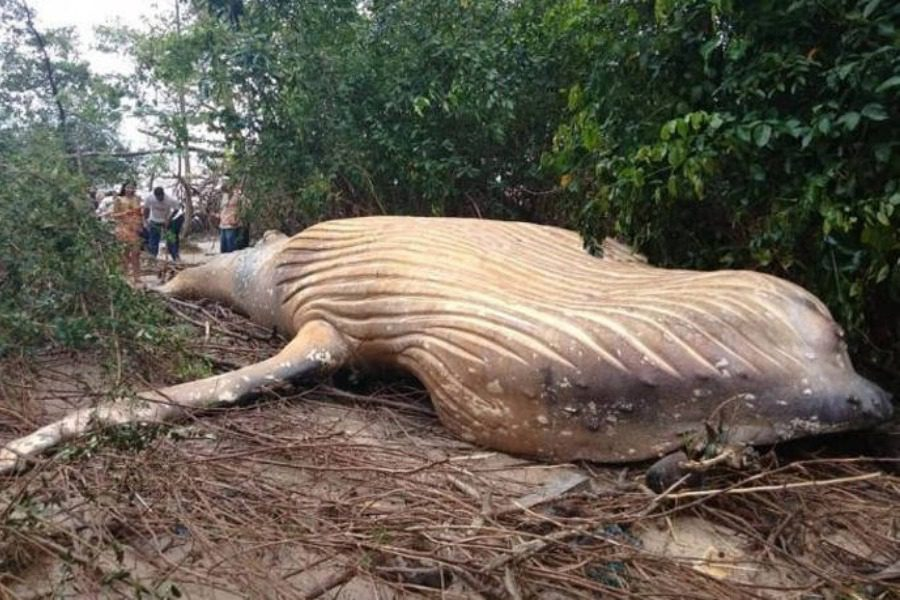 Μυστήριο: Βρέθηκε νεκρή φάλαινα στη ζούγκλα του Αμαζονίου