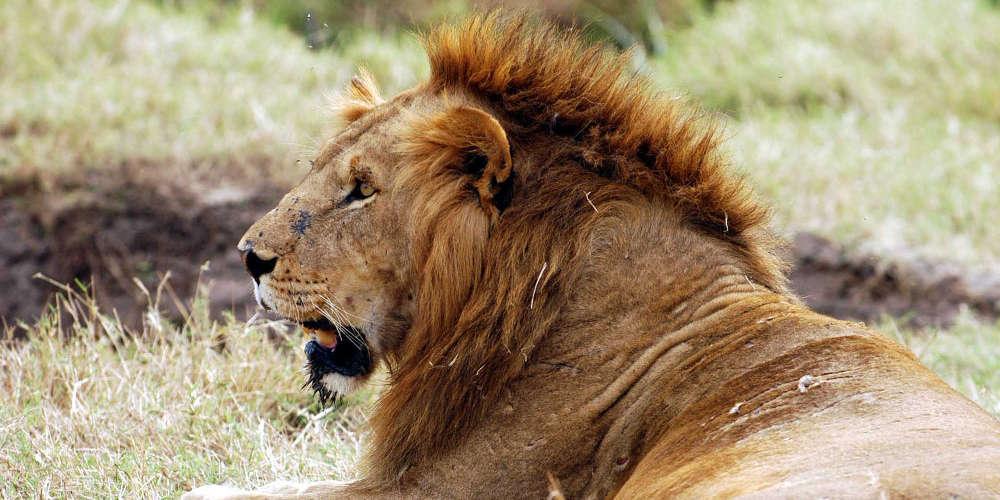 Φρίκη: Λιοντάρι όρμησε σε θηριοδαμαστή! (photos)