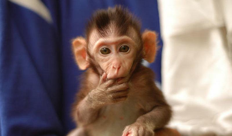 Eπιστήμονες εμφύτευσαν ανθρώπινα γονίδια σε μαϊμούδες – Τρομάζει το αποτέλεσμα
