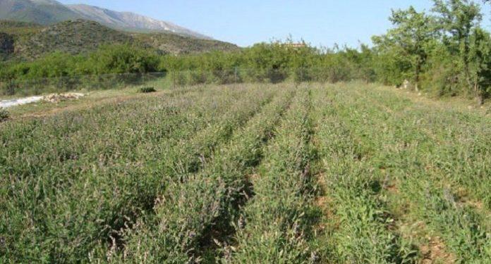 Το βότανο της αθανασίας βρίσκεται στην Ελλάδα!