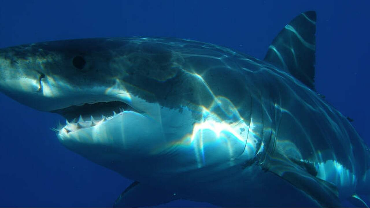 Πελώριος λευκός καρχαρίας πνίγηκε στην προσπάθειά του να καταπιεί θαλάσσια χελώνα