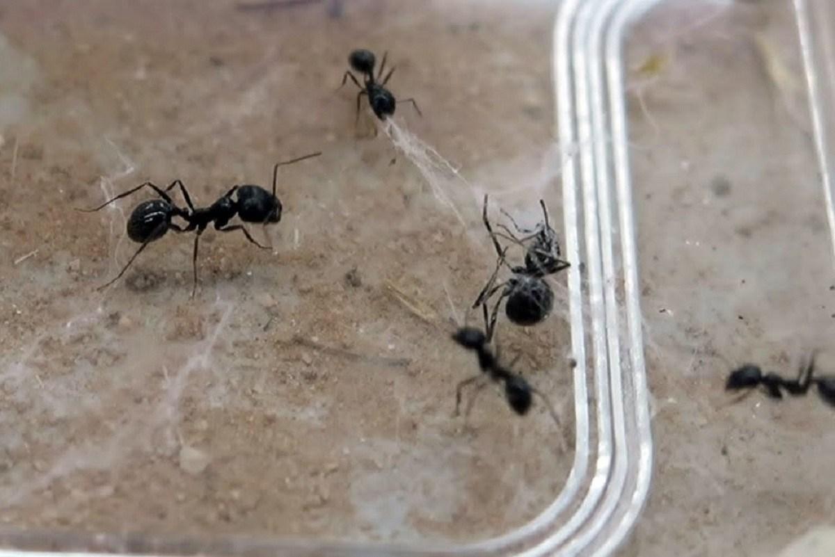 Μυρμήγκια – ήρωες σώζουν «φίλους» τους από ιστό αράχνης (video)