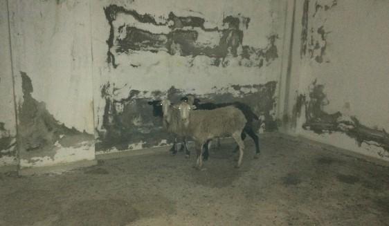 Κρήτη: Άγνωστος φυλακίζει πρόβατα σε παλιό κτίριο και τα αφήνει να πεθαίνουν | ΦΩΤΟ