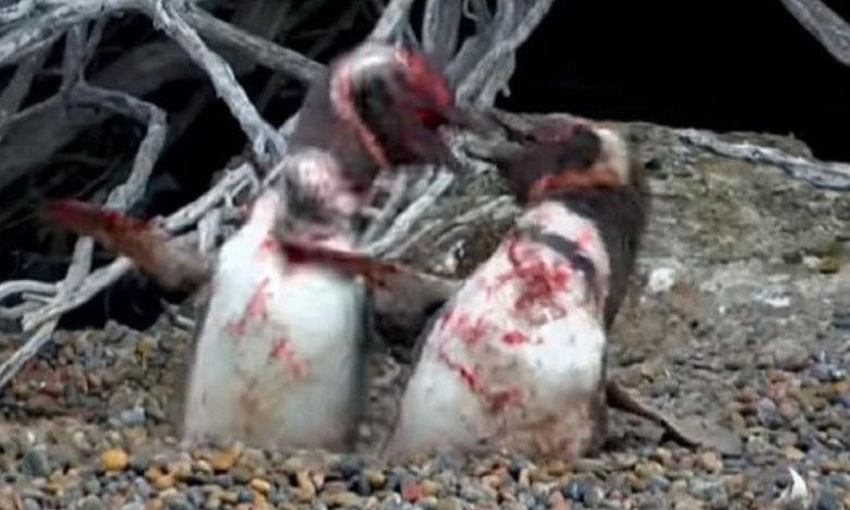 Ο απατημένος πιγκουίνος βρίσκει την γυναίκα του με άλλον και… [video]