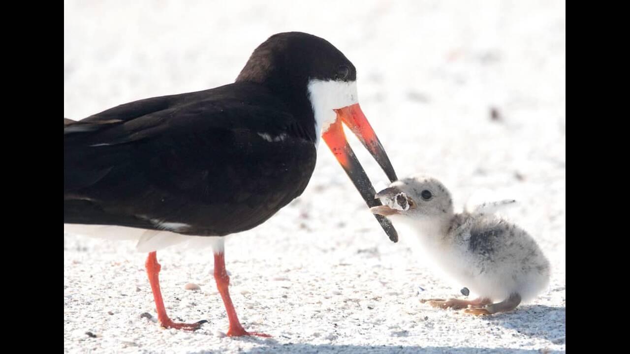 Οι εικόνες που συγκλόνισαν τον πλανήτη – Δείτε με τι «ταΐζει» πτηνό το νεοσσό του