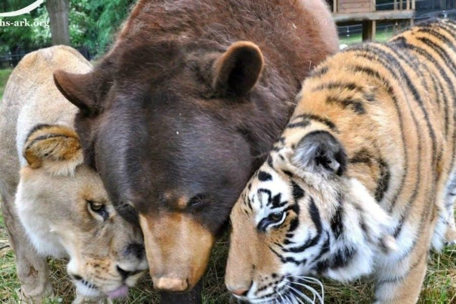 Πώς ένα λιοντάρι, μια αρκούδα και μια τίγρης έγιναν αχώριστοι φίλοι