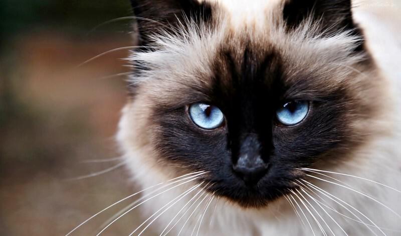 Βέλγιο: Γάτα κόλλησε κορονοϊό από τον ιδιοκτήτη της