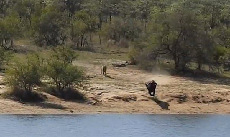 Μάχη επιβίωσης: Βουβάλι καταδιώκεται από λιοντάρια, δέχεται επίθεση από κροκόδειλο, αλλά σώζεται!