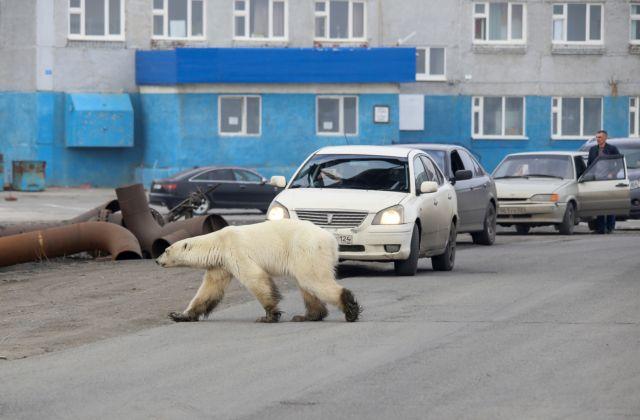 Πεινασμένη πολική αρκούδα περιπλανιέται αναζητώντας τροφή σε πόλη της Σιβηρίας