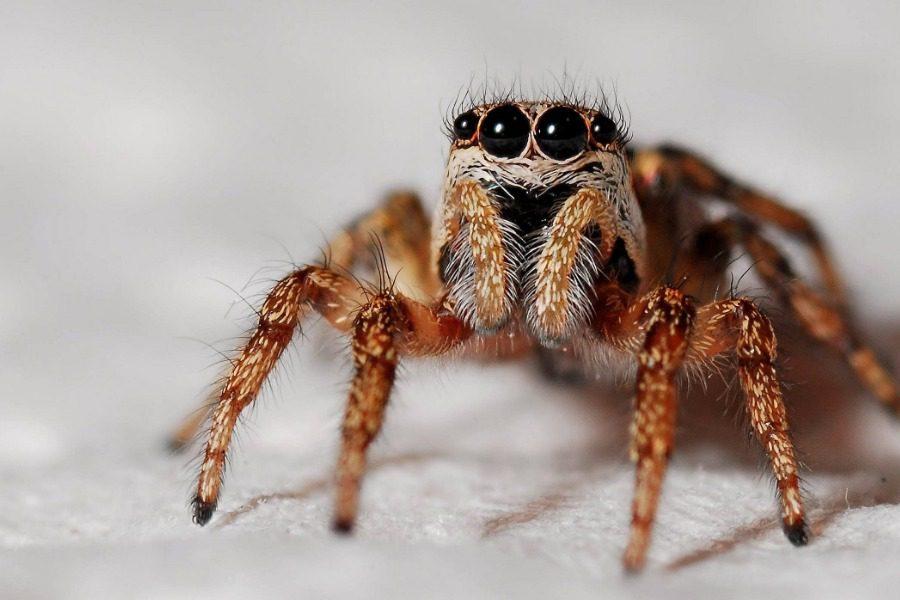 Γιγάντια αράχνη κατασπάραξε ολόκληρο οπόσουμ