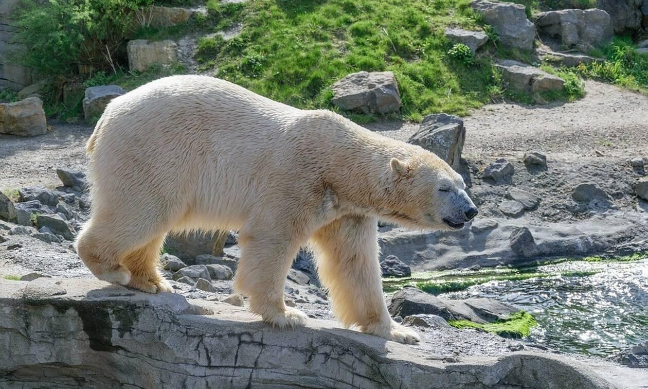Δραματικό βίντεο: Της επιτίθεται πολική αρκούδα – Δείτε πώς κατάφερε να σωθεί