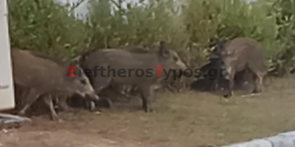 Απίστευτο βίντεο: Αγριογούρουνα κόβουν βόλτα μέρα μεσημέρι στους Θρακομακεδόνες