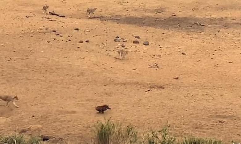 Φακόχοιρος εναντίον 7 λιονταριών: Δεν θα πιστεύεις τον νικητή της μάχης! (video)