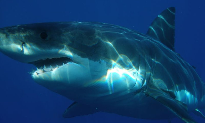 Σοκαριστικό video: Λευκός καρχαρίας κατασπαράζει λευκό καρχαρία (Προσοχή: Σκληρές εικόνες)