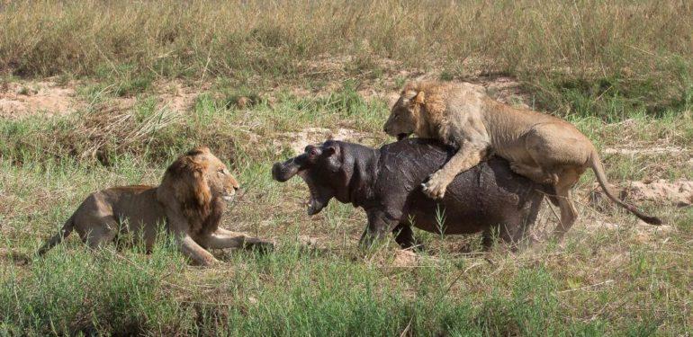 Πέντε λιοντάρια κάνουν «ντου» αλλά ο ιπποπόταμος δεν είχε πει την τελευταία του λέξη…| ΒΙΝΤΕΟ