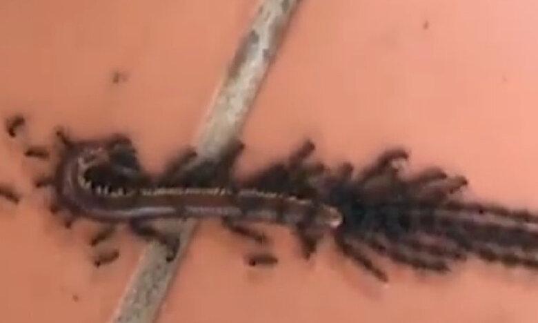 Μυρμήγκια φτιάχνουν αλυσίδα για να μεταφέρουν μια σαρανταποδαρούσα (vid)