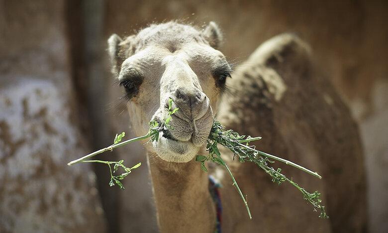 Γυναίκα δάγκωσε τα γεννητικά όργανα καμήλας!