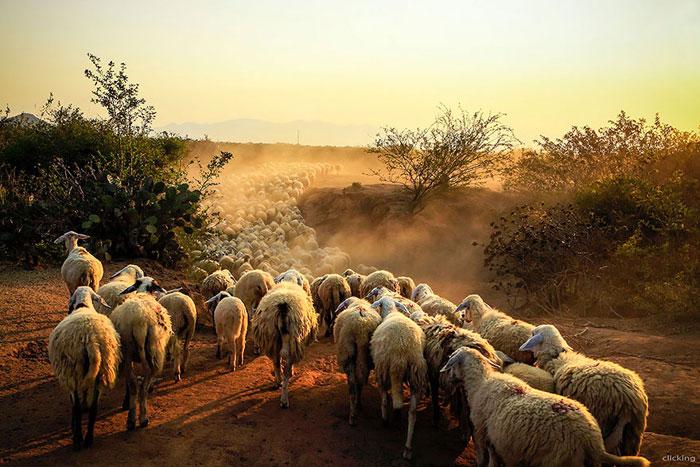 Τον έπιασαν με τα κλεμμένα πρόβατα στην καρότσα