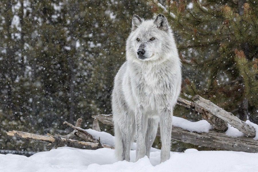 Ο λύκος που έγινε ο φόβος και ο τρόμος των κτηνοτρόφων για 9 χρόνια