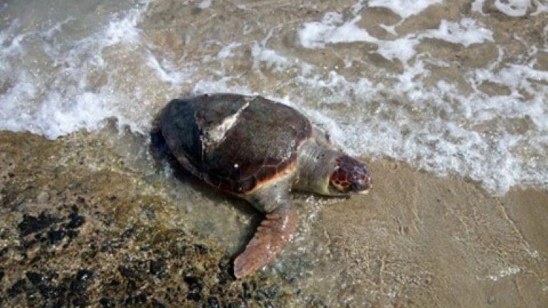 Κινητοποίηση για τραυματισμένη χελώνα