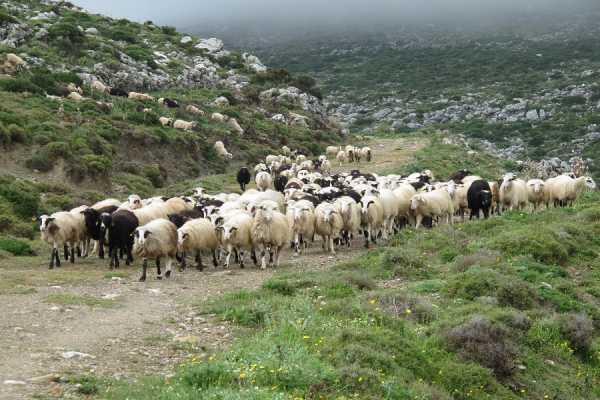 Χειροπέδες σε νεαρό κτηνοτρόφο χωρίς άδεια – Είχε λιγότερα αιγοπρόβατα και ταλαιπωρημένο σκύλο