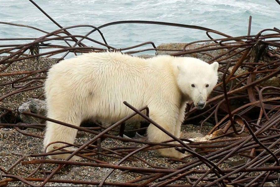 Ρωσία: Πολικές αρκούδες σε οικισμό ‑ Ειδικοί προτείνουν να φύγουν… οι κάτοικοι
