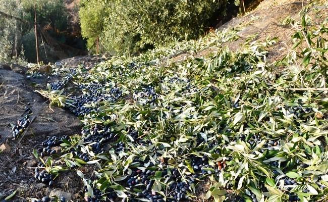 Καταγραφή ζημιών στις καλλιέργειες της Κρήτης από την κακοκαιρία