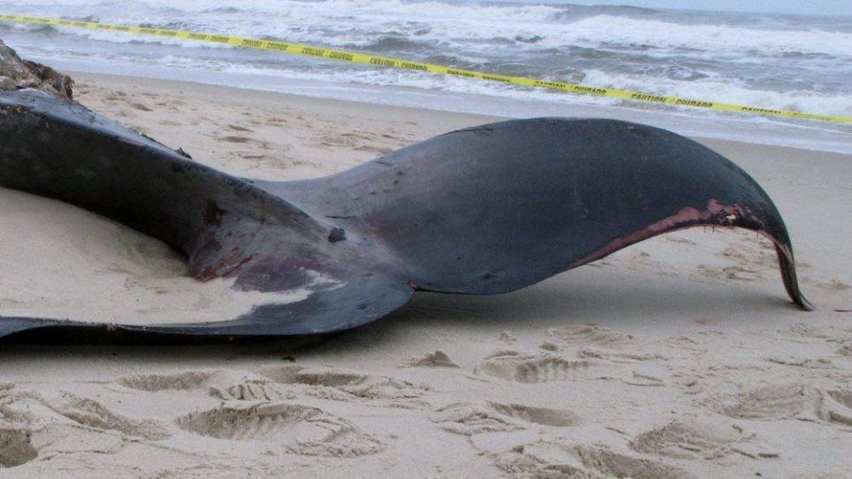Νεκρή φάλαινα 15 μέτρων ξεβράστηκε σε παραλία στην Κερατέα