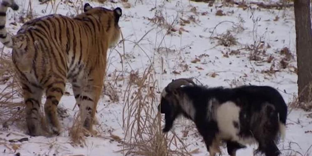 Πέθανε ο τράγος Τιμούρ που είχε γίνει ο καλύτερος φίλος του τίγρη Αμούρ [βίντεο]